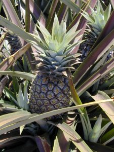 Ananas comosus (leaves and fruit)